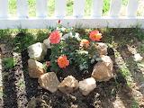 Apricot rose bush