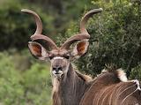 #Kudu