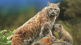 ^ Lynx and kittens