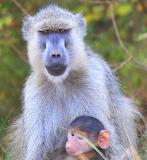 Baboon Mama