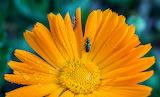 Duo dans une fleur (Loul)