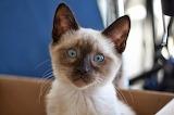 A little surprised Siamese cat