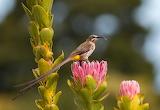 A male Cape sugarbird
