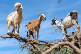 Tree-climbing Goats Morocco credit National Geographic