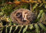 Sleepy Hedgehog