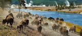 Bison At Yellowtone