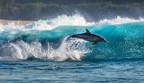Dauphin bondissant hors de l' eau