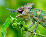 lizard eating dragonfly
