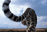 The Leopard Way