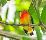 Band-tailed Manakin, Male