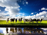 Cows, Netherlands...
