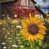 Barn Sunflower