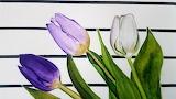 Lila tulipánok