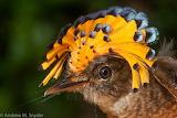 Amazonian Royal Flycatche or Flytrap