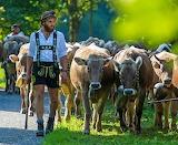 Tyrolean cowherder