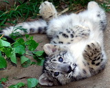 Snow leopard endangered species cat