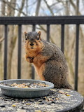 Animals - Fox squirrel - Indiana