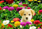 Golden Puppy in the Zinnias...