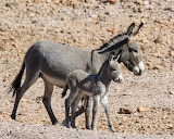 Horses - Wild baby burro