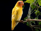 Yellow parrot 5388