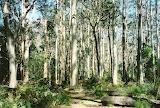gum forest