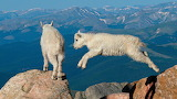 Goat - Cabra