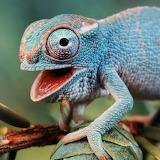 Lachendes Chameleon