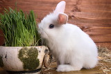 Conill - Rabbits
