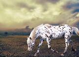 Appaloosa Horse...