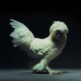 Inspiring Most Beautiful Rare Chickens Breeds on The Planet (1)