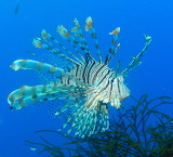 Lion Fish ~ Coron Bay