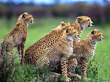 Cheetah Family...