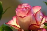 Rose-687968