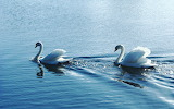 Swan-couple-water