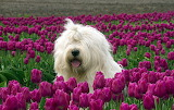 OldEnglishSheepDog3