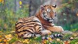 Tigers Autumn 570594 1280x720