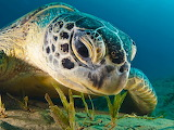 Green Sea Turtle, Red Sea...