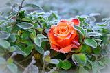 Rose un matin d' hiver