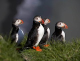 Puffins-in-iceland