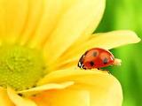 Ladybugs on yellow daisy