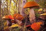 грибы 54