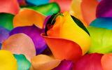 ☺♥ Colorful rose petals...