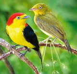 A pair Wire-tailed Manakin, Male and Female