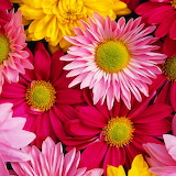 Colorful Daisies...