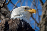 Close Up of Bald Eagle at LeClaire Iowa USA
