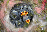 Birds-animal babies-nest
