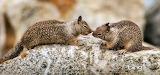 California ground squirrels at Seal Rock on the Monterey Peninsu