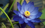 ☺ Beautiful blue Lotus flower...