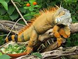 Iguana-animal-nature