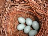 POTW Eastern Bluebird Easter Eggs